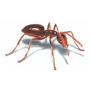Odorus Ant