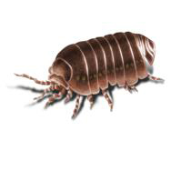 Sow Bugs