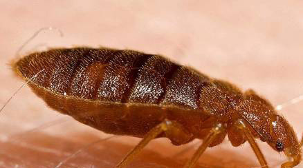 Bed Bugs Bug Insect Control Extermination Erdye S
