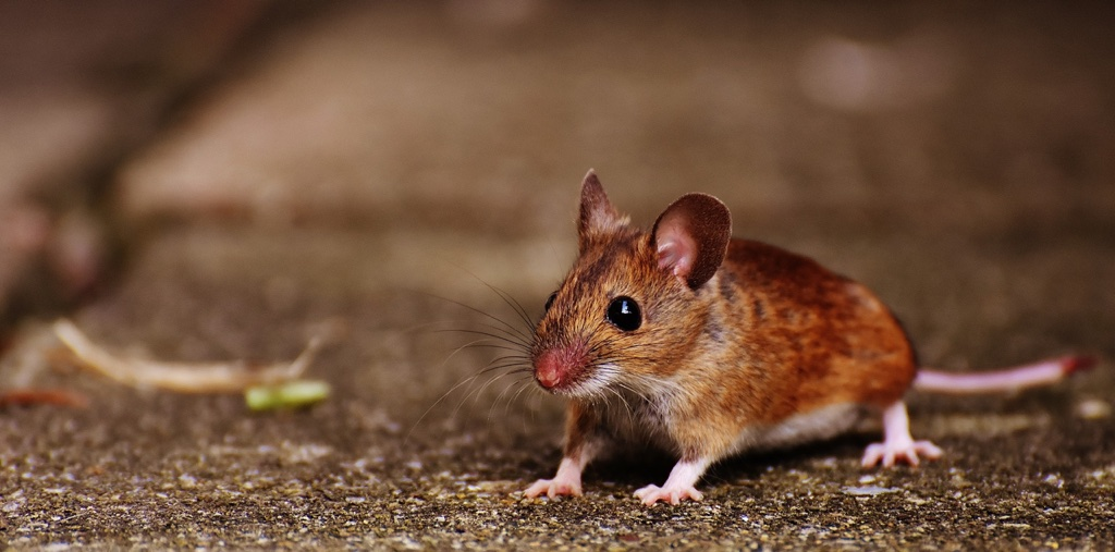 How to Get Rid of Mice Easily Quickly by Erdyes Pest Control in