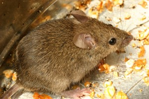 The Dangers Of Mice In Your Home By Erdye S Pest Control