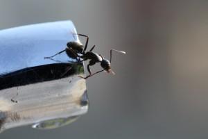 summertime Pest ants