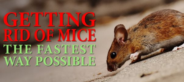 Getting Rid of Mice