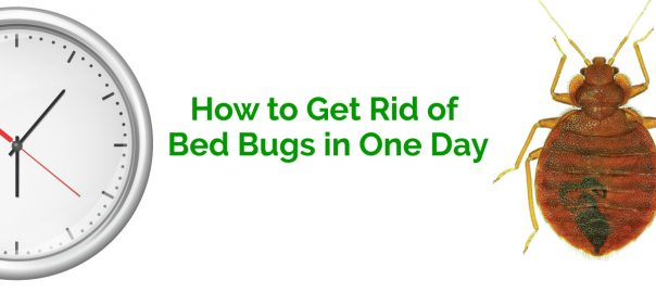 How to Get Rid of Bed Bugs in One Day Erdyes Pest Control