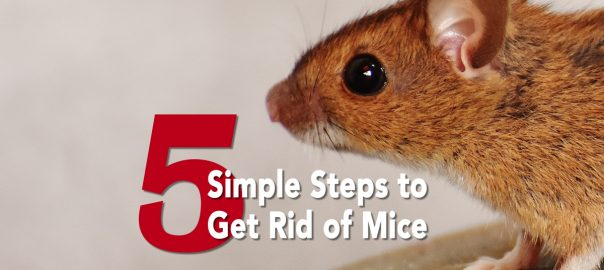 5 Simple Steps to Get Rid of Mice