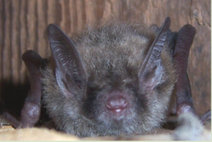 brown-bat-removal-in-wisconsin-erdyes-pest-control