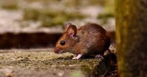 mice in your home Archives - Erdye's Pest Control